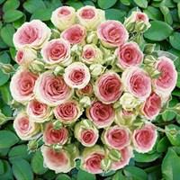 Розы спрей / мини