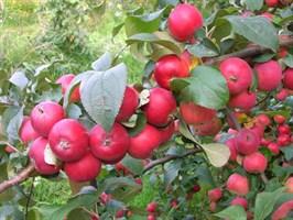 Яблоня полукультурка
