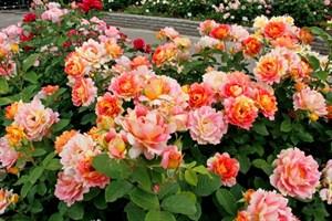 Розы шрабы / парковые