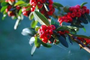 Другие плодово-ягодные деревья и кустарники