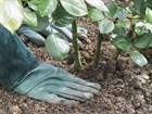 Правила посадки садовой розы
