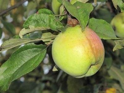 Яблоня Подснежник - фото 5050