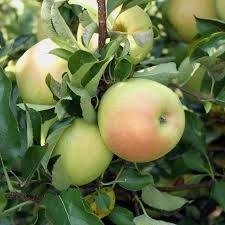 Яблоня Чудное 3-х летний ОКС - фото 5052