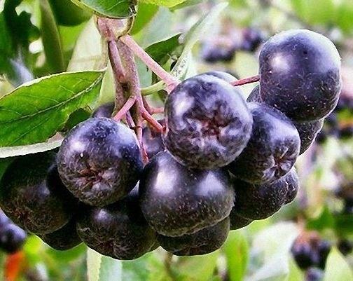 Черноплодная рябина (Арония) - фото 6397