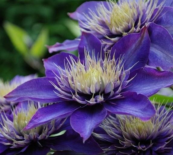 Клематис Мульти Блю (Multi Blue) - фото 6943