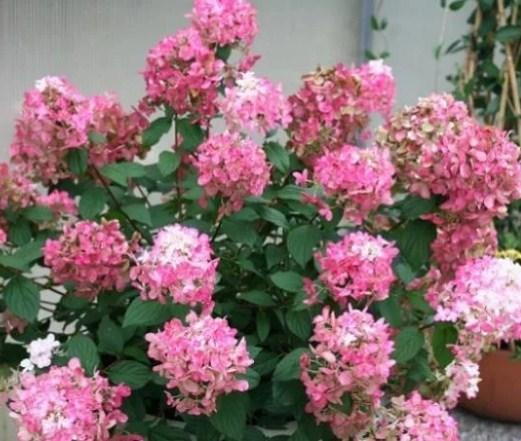 Гортензия метельчатая Пинк Перфект (Pink Perfect) - фото 6962