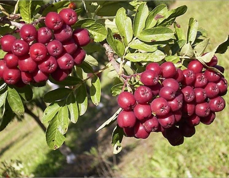 Рябина плодовая Бурка - фото 7453