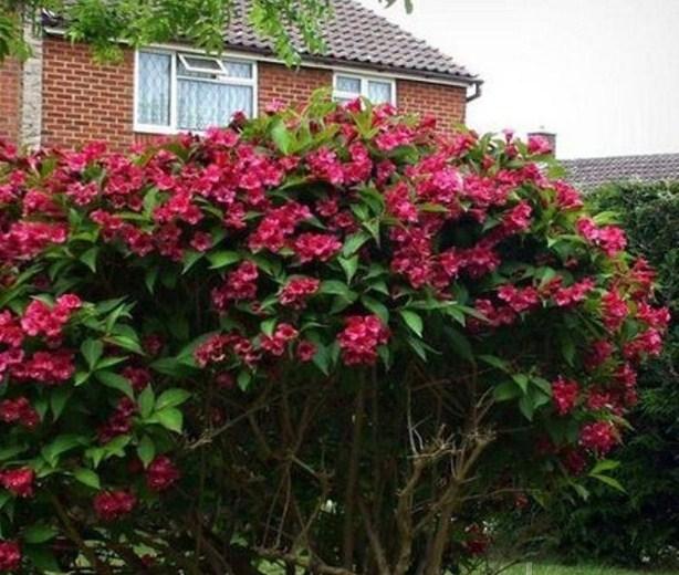 Вейгела гибридная Бристол Руби (Bristol Ruby)  - фото 7564