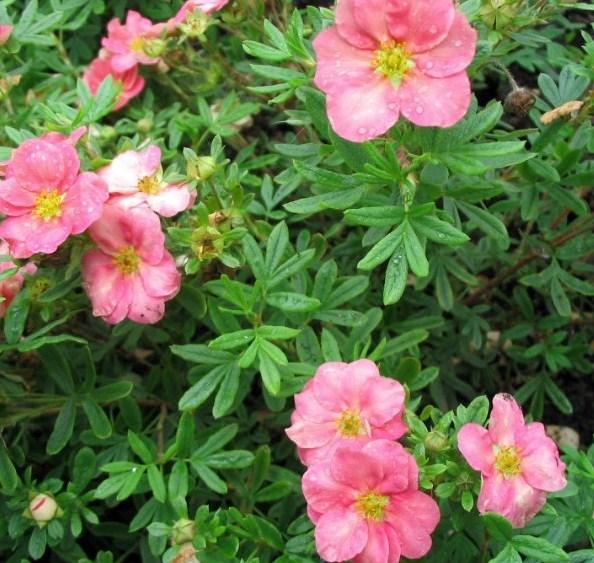 Лапчатка кустарниковая Лавли Пинк (Lovely Pink) 4-х летний - фото 7579