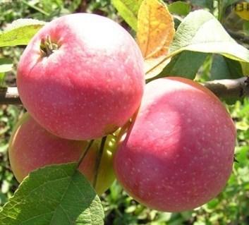 Яблоня Красная горка 3-х летний ОКС - фото 7657