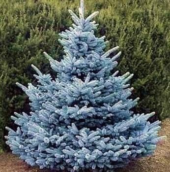Ель колючая голубая Маджестик (Majestic Blue) - фото 7670