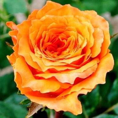 Роза Ашрам - фото 7830