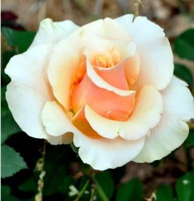 Роза Шантелла - фото 7835