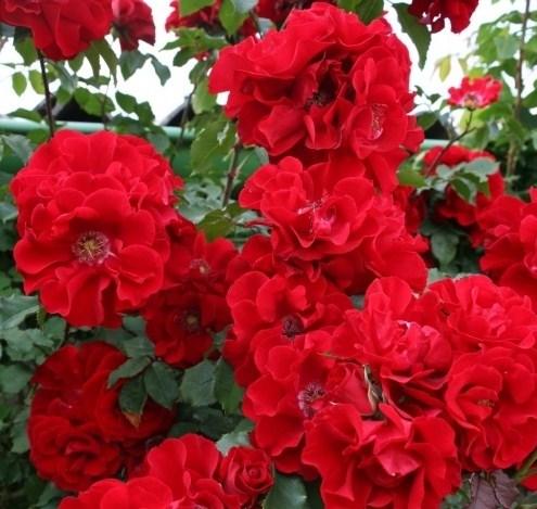 Роза Ротер Корсар - фото 7853