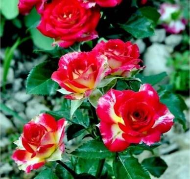 Роза Рубиэлла - фото 7861