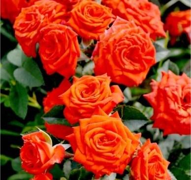 Роза Ред Макарена - фото 7864