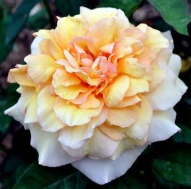 Роза София Ренессанс - фото 7871