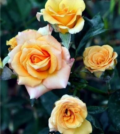 Роза Спрей Золотистый - фото 7878