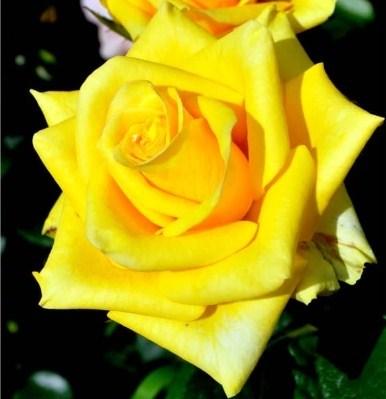 Роза Ландора - фото 7891