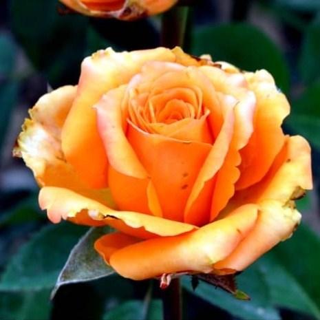 Роза Атлантик Стар - фото 7971