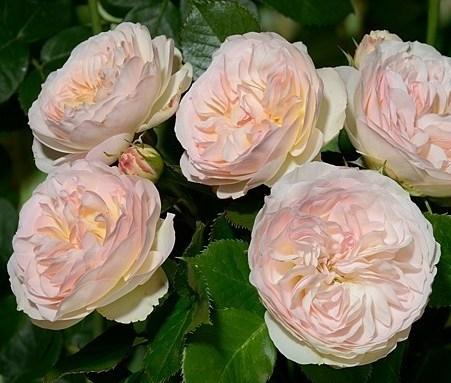 Роза Пастелло - фото 7988