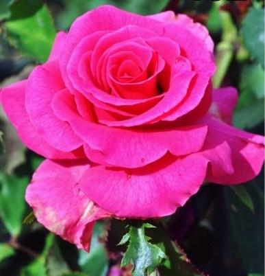 Роза Равель - фото 7991