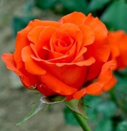 Роза Анжелика - фото 8073