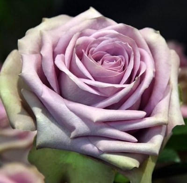 Роза Тиара - фото 8232
