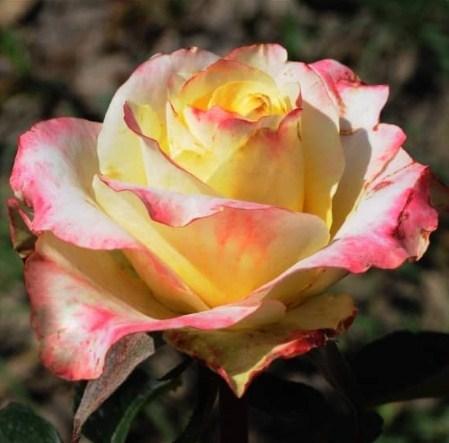 Роза Аппер Секрет - фото 8237