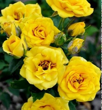 Роза Саммер - фото 8240