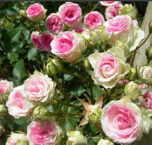 Роза Мими Эден - фото 8241