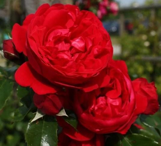 Роза Флорентина - фото 8248