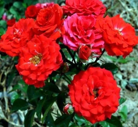 Роза Ред Микадо - фото 8254