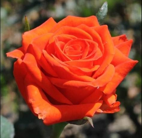 Роза Наранга - фото 8256