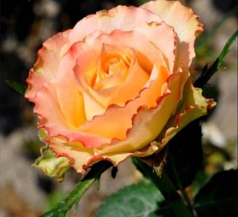 Роза Дуэт - фото 8257
