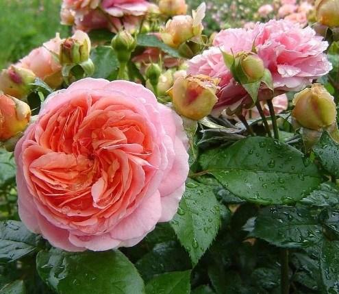 Роза Чиппендейл - фото 8261