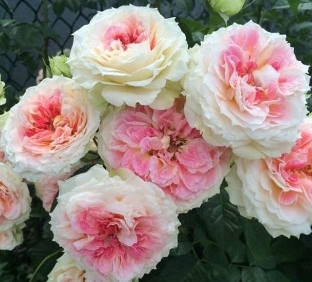 Роза Цезарь - фото 8264