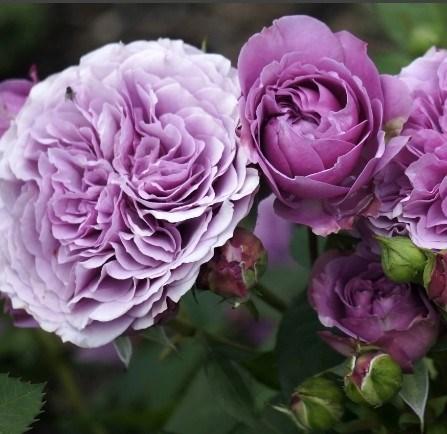 Роза Лавендер Айс - фото 8265
