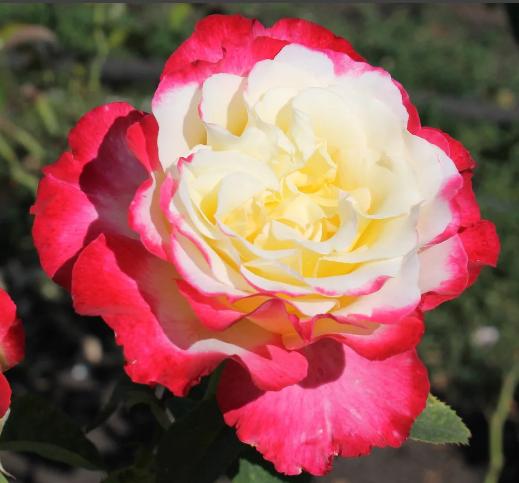 Роза Дабл Делайт - фото 8266