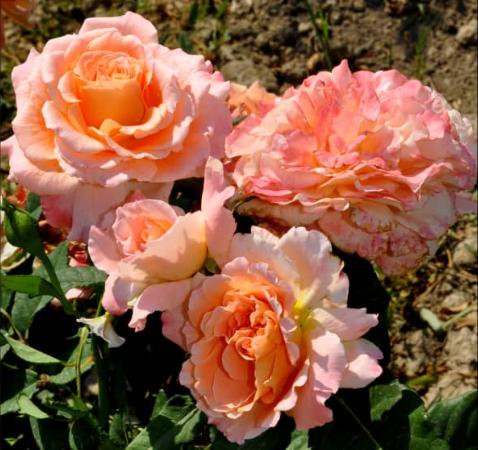 Роза Августа Луиза - фото 8269