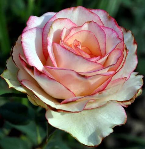 Роза Фентази Мондиаль - фото 8289