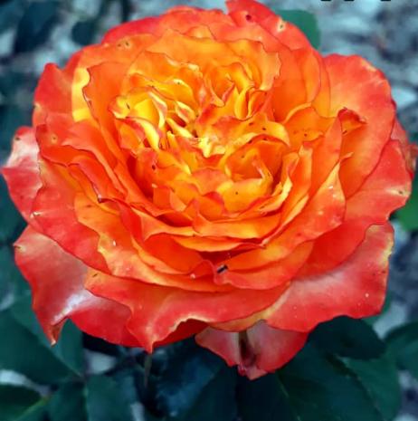 Роза Румба - фото 8290