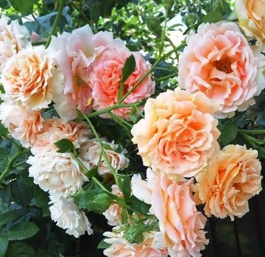 Роза Полька - фото 8293