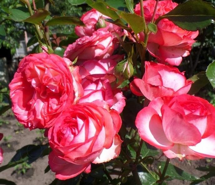 Роза Антик - фото 8295