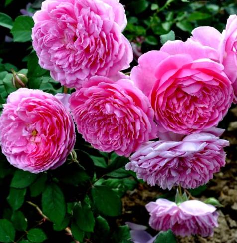 Роза Центифолия Мускоза - фото 8297