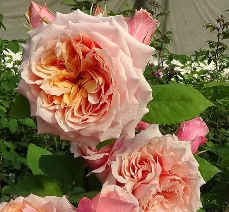 Роза Фестиваль Де Жардан Де Шомон - фото 8305