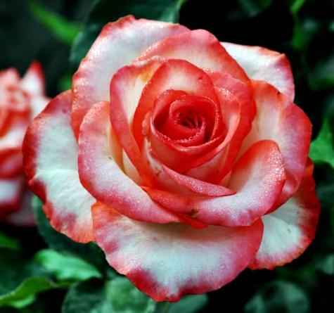 Роза Блаш - фото 8308