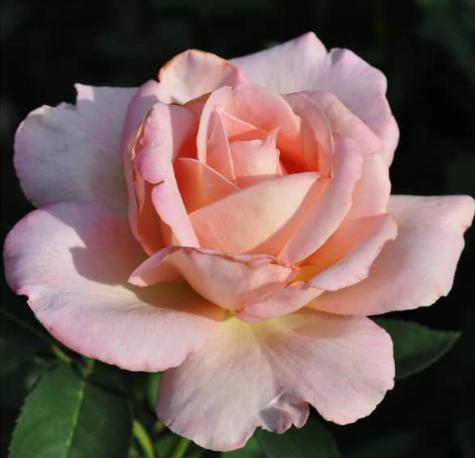 Роза София - фото 8310