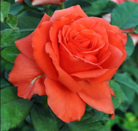 Роза Корвет - фото 8316