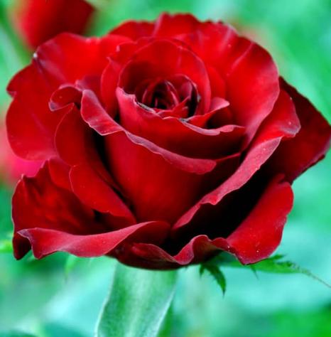 Роза Реал Баккара - фото 8321